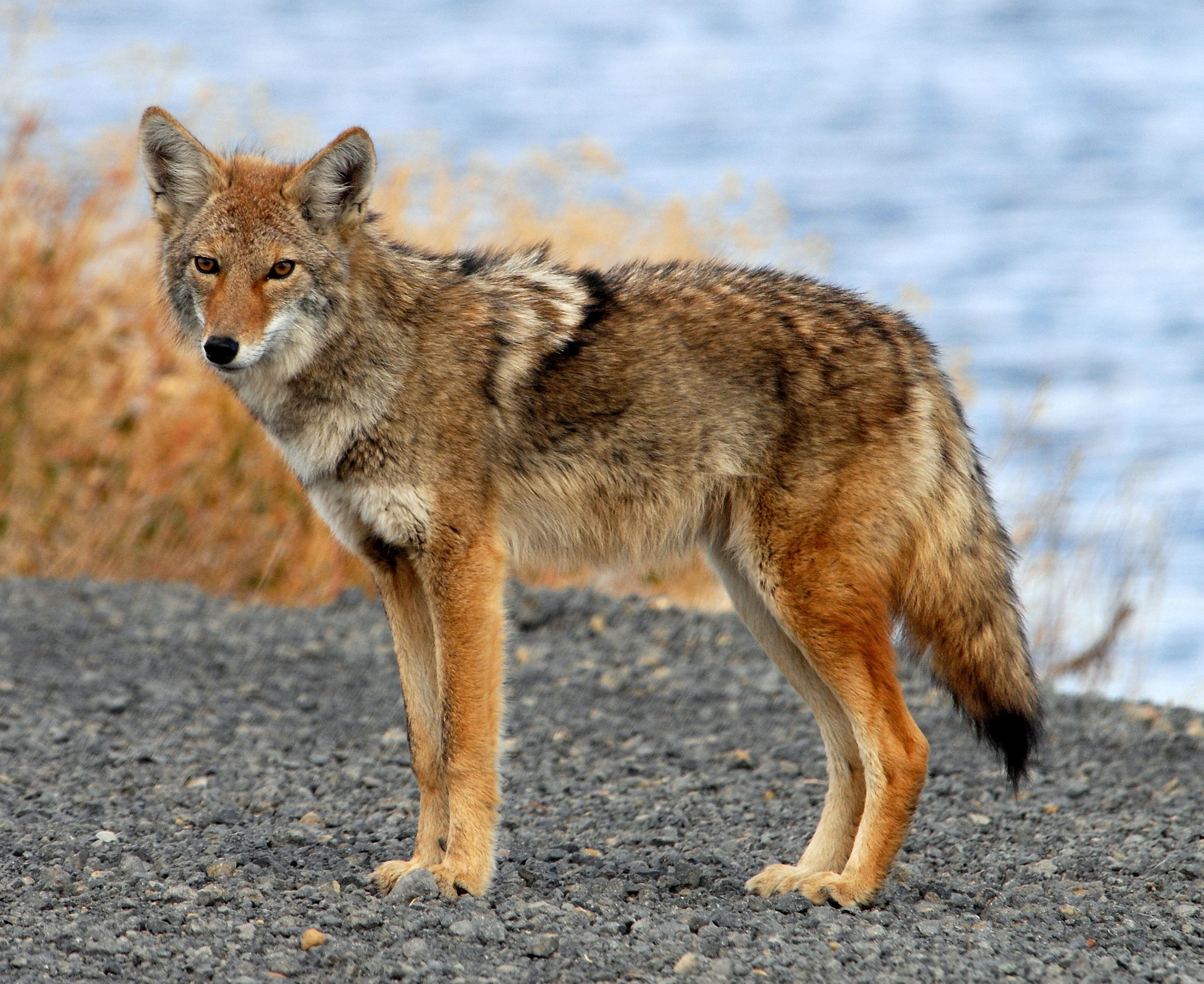 coyote_tule_lake_ca