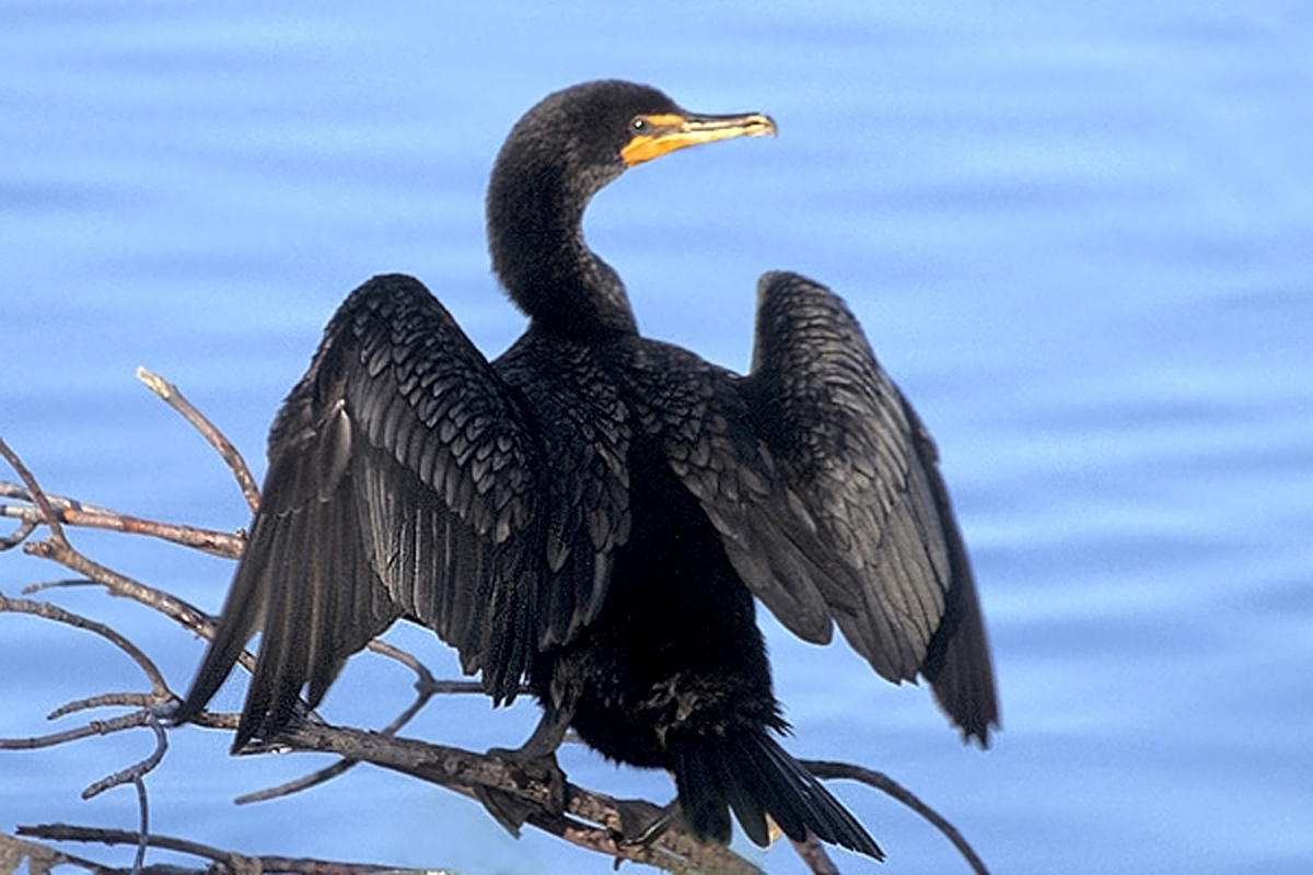 double-crested_cormorant_at_ding_darling_nwr