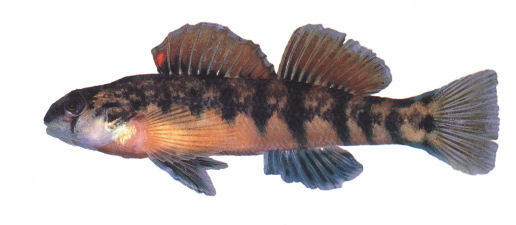 etheostoma_scotti