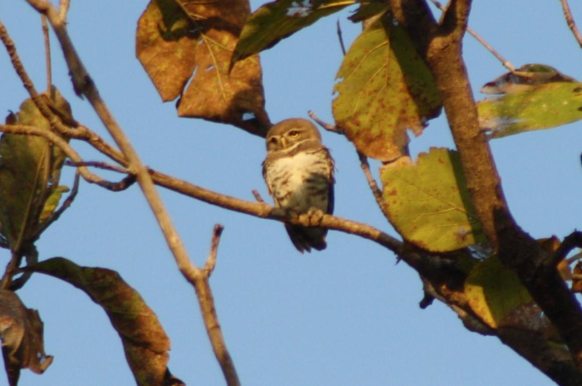 forest_owlet_28heteroglaux_blewitti29_on_a_teak_tree_top