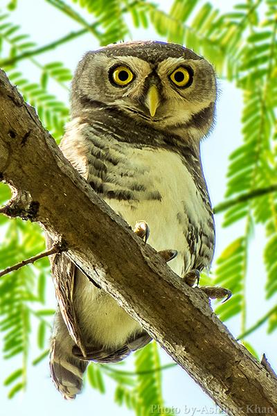 forest_owlet_athene_blewitti_by_ashahar_alias_krishna_khan