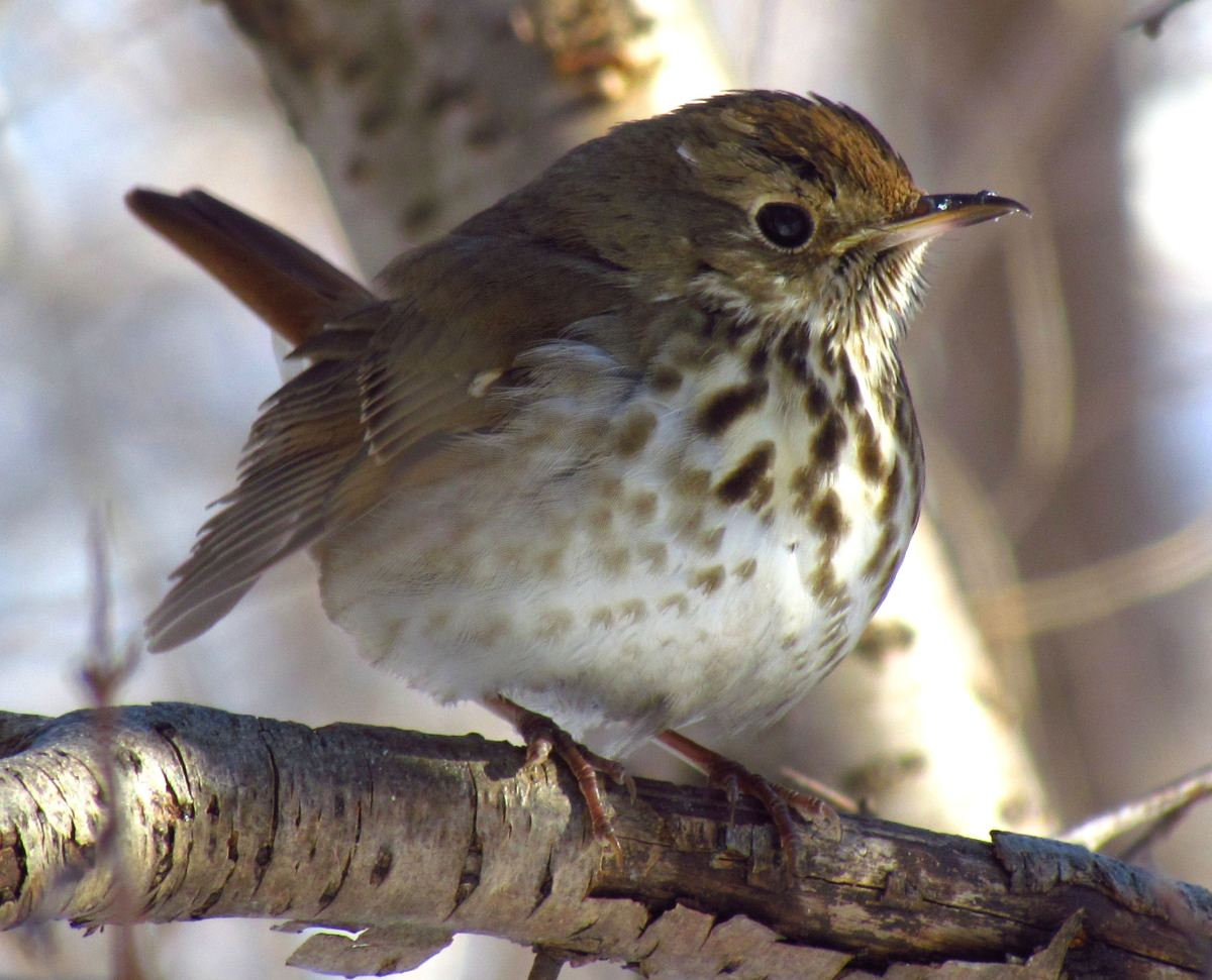 hermit_thrush_in_winter