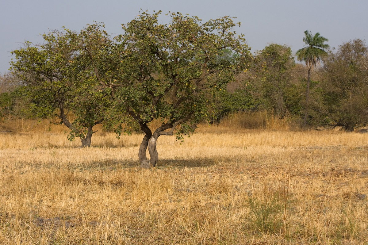 Trees in Kiang West/The Gambia