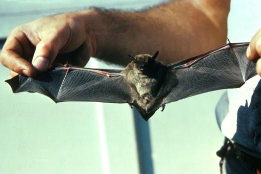 little_brown_bat_fws