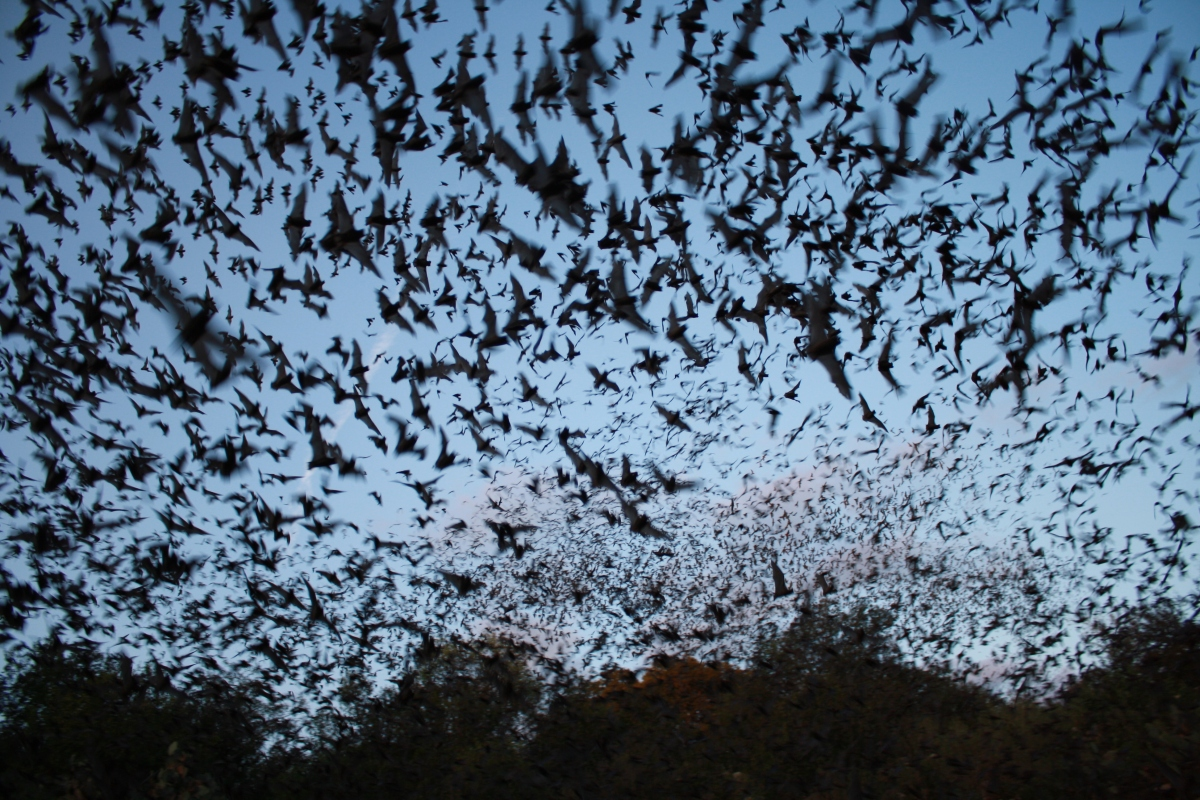mexican_free-tailed_bats_exiting_bracken_bat_cave_28800683278729