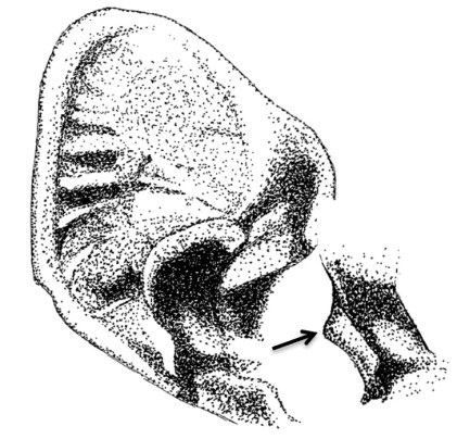 niumbaha_superba_ear_and_tragus_-_zookeys-285-089-g003-bottom-right