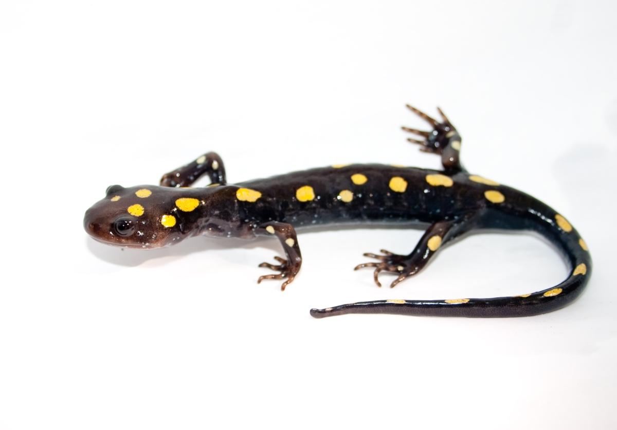 spotted_salamander