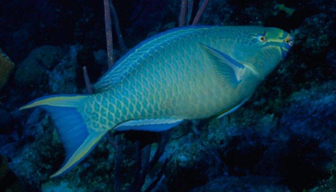 1622-parrotfish_0