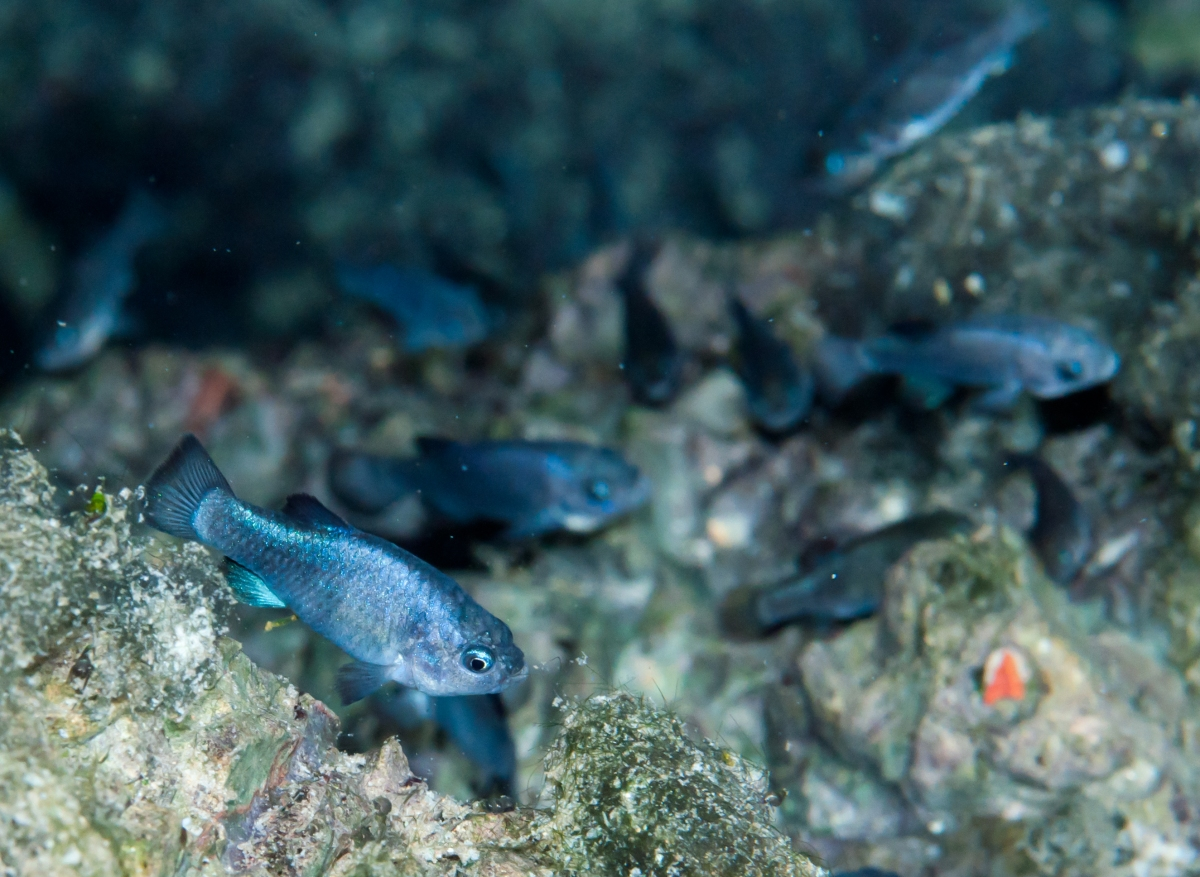 20110102-_dsc8358-1541358036-o-devils-hole-pupfish