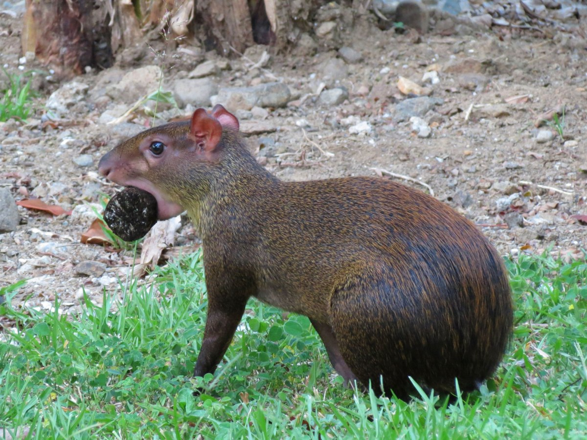 agouti_with_food_-_flickr_-_treegrow