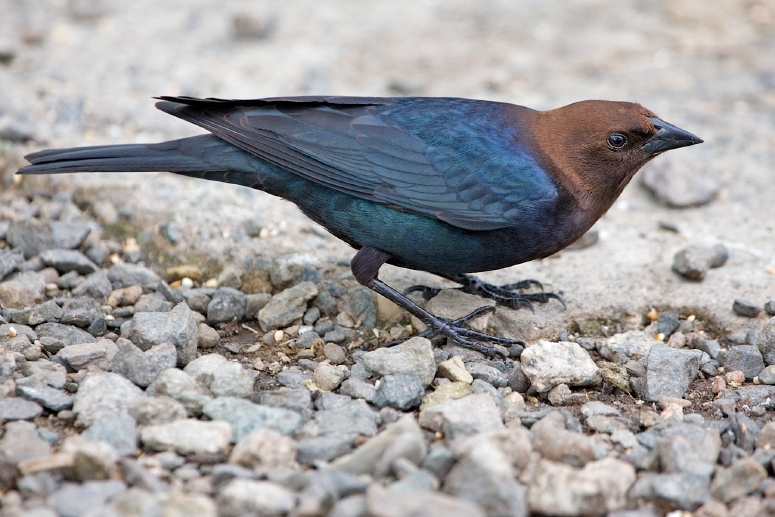 brown-headed_cowbird