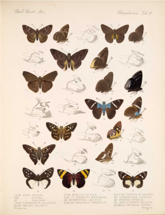 cogiatyphedanus