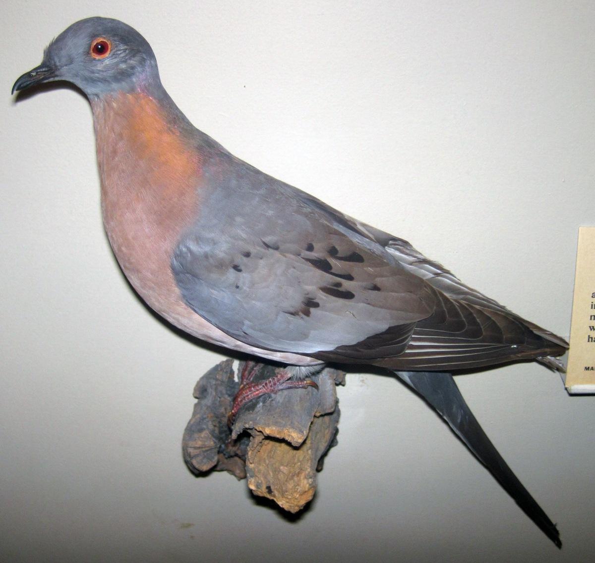 ectopistes_migratorius_28passenger_pigeon29