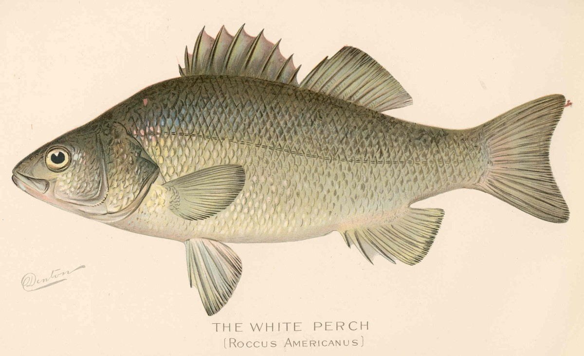 fmib_43157_white_perch_28roccus_americanus29