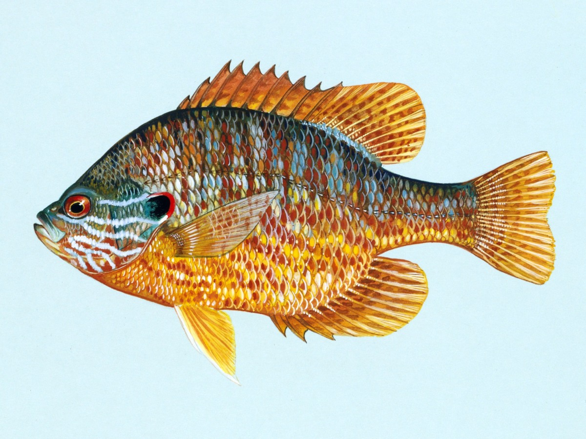 lepomis_gibbosus_u_s_fish_and_wildlife_service