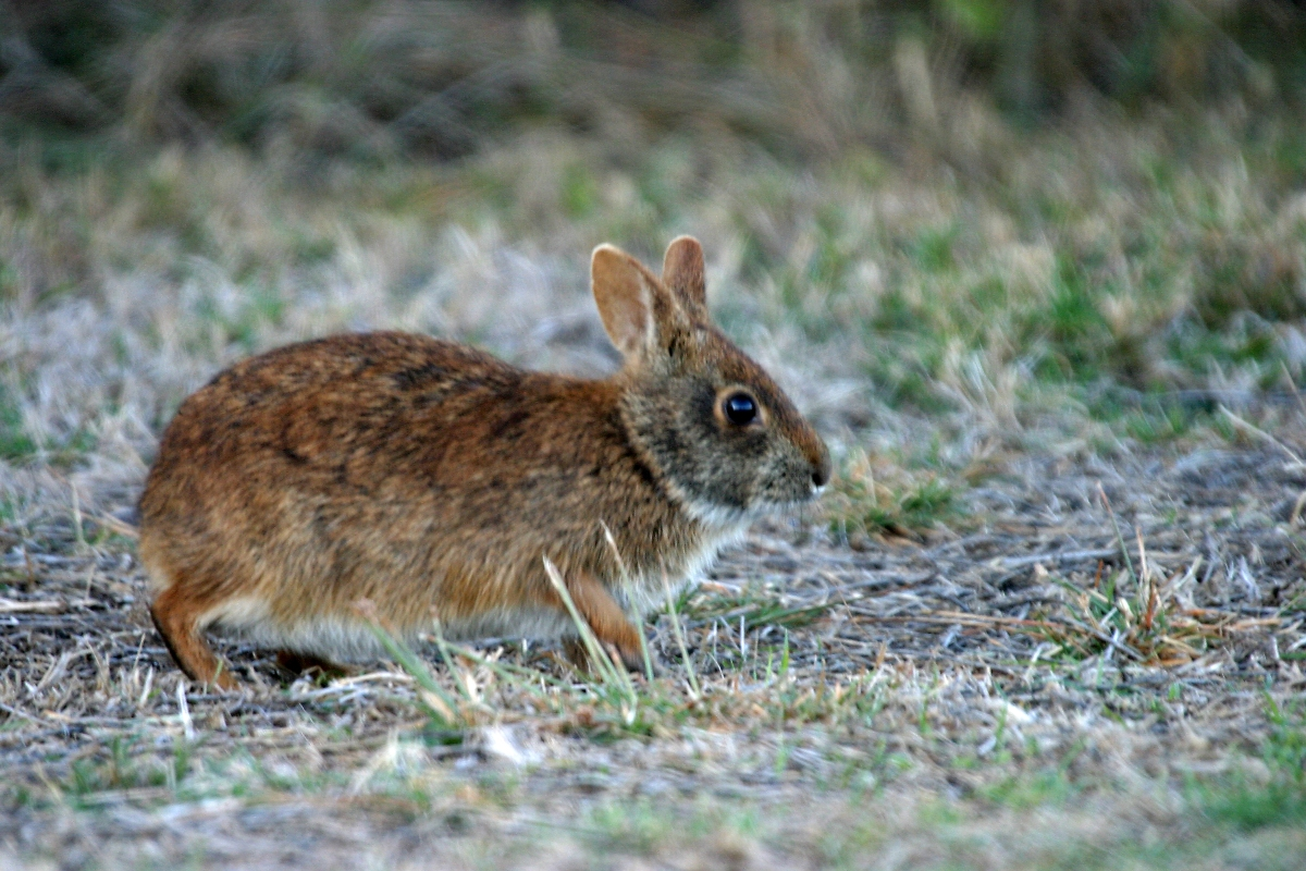 marsh_rabbit_npsphoto2c_r-_cammauf_28925511650329