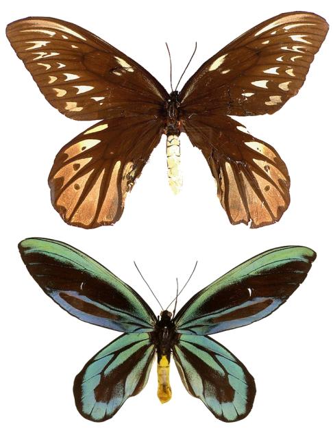ornithoptera_alexandrae