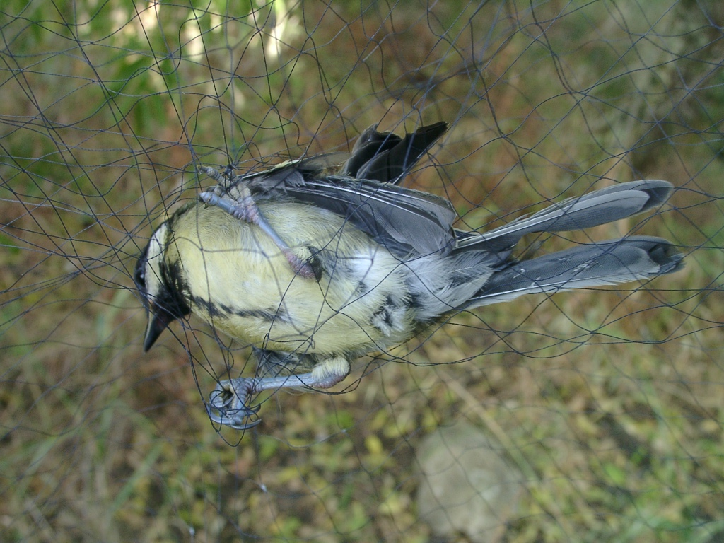 ringing_02_bird_in_net