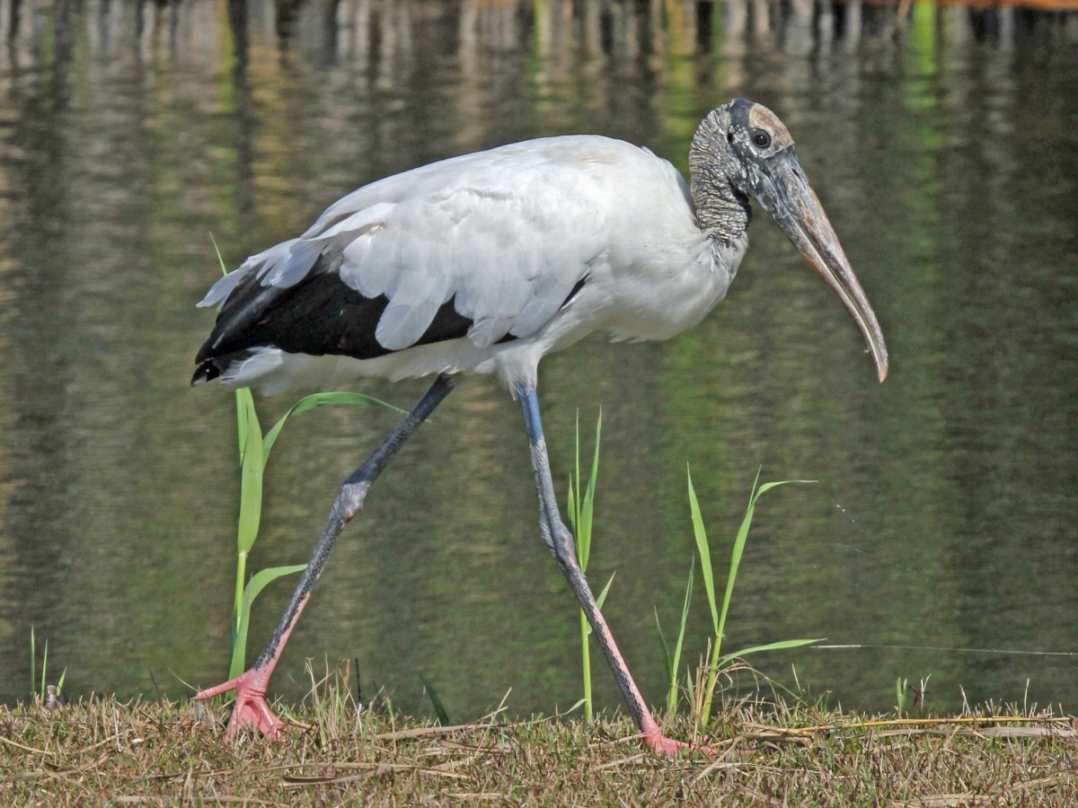 wood_stork_everglades_national_park_rwd