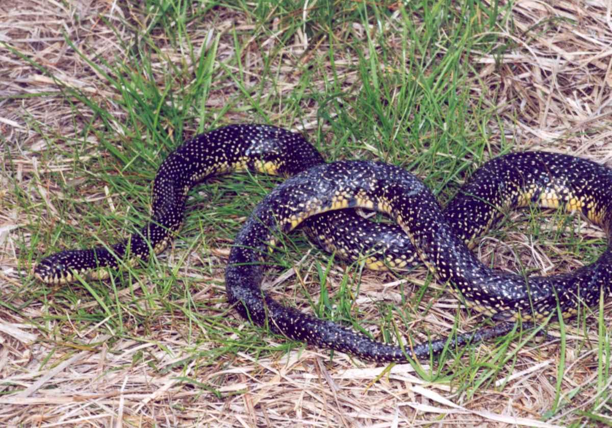 speckled_king_snake_lampropeltis_getula_holbrooki_stejneger
