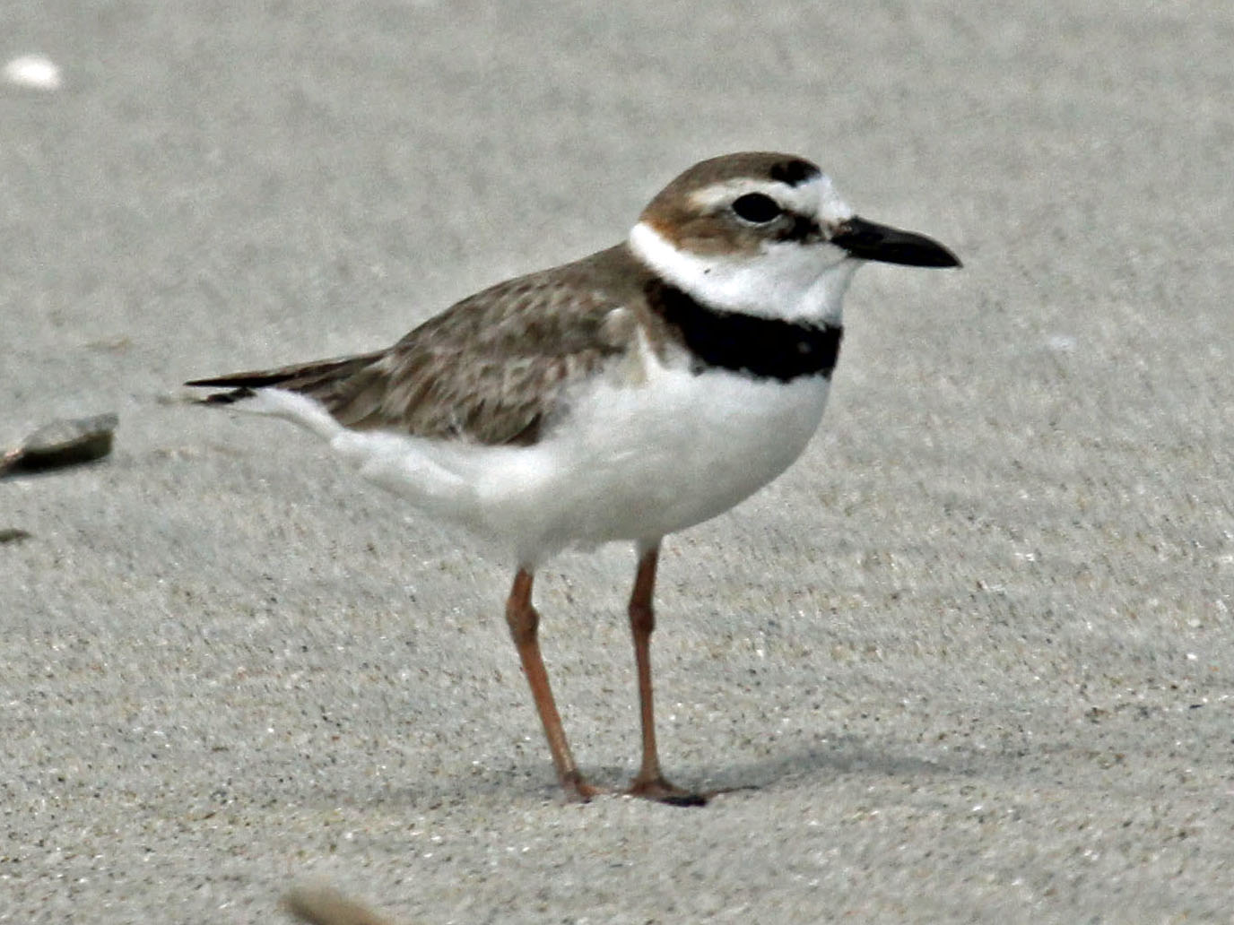 wilson27s_plover_male_rwd3