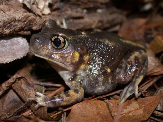 eastern-spadefoot-scaphiopus-holbrookii