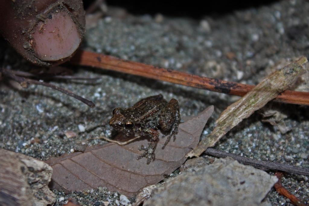greenhouse_frog_28eleutherodactylus_planirostris29_28857242652429